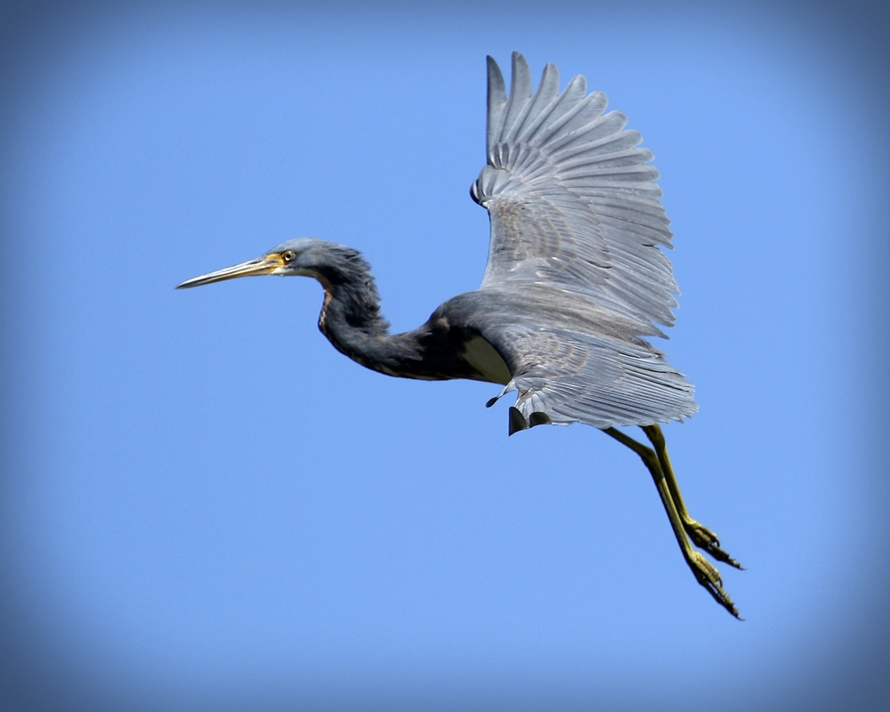 A tricolored Heron also glides back to the tree..I decide to return to the dock and leave them in peace