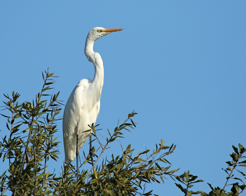 A pair of Great Egrets land in the tree by my dock…I have to swing the bow in their direction to land..