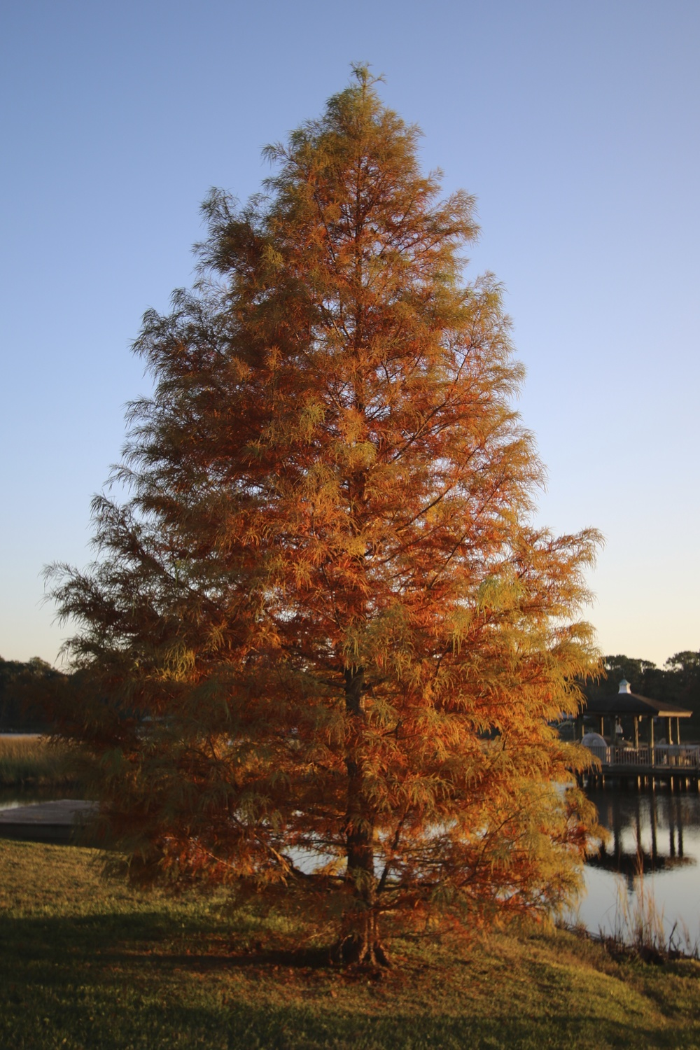 My Bald Cyprus Tree (The General) is as close to fall foliage that I see in Northern Florida.