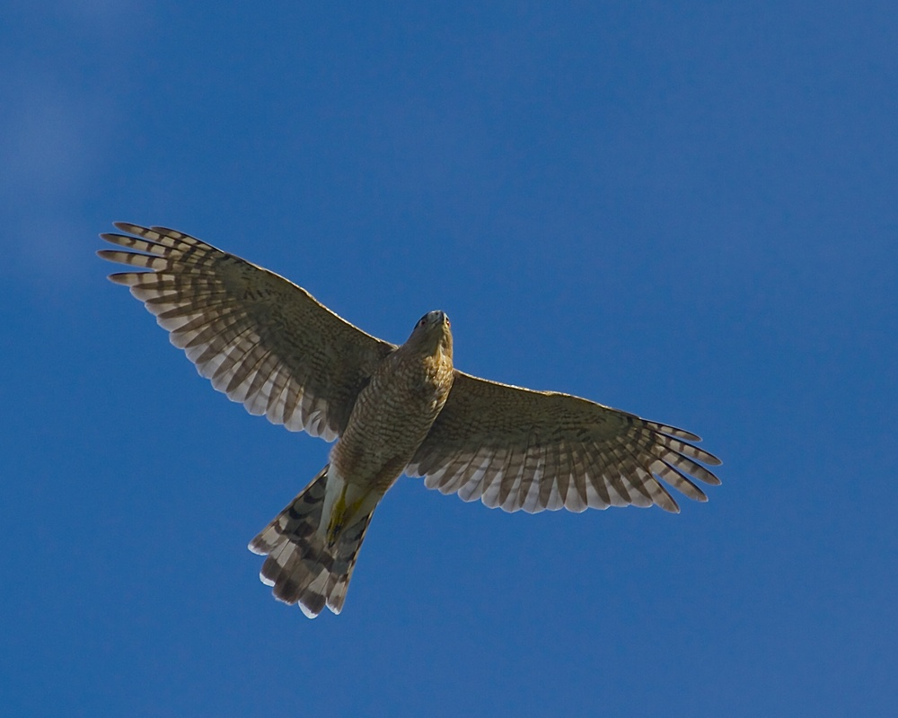 Red Shouldered Hawk over the marsh.