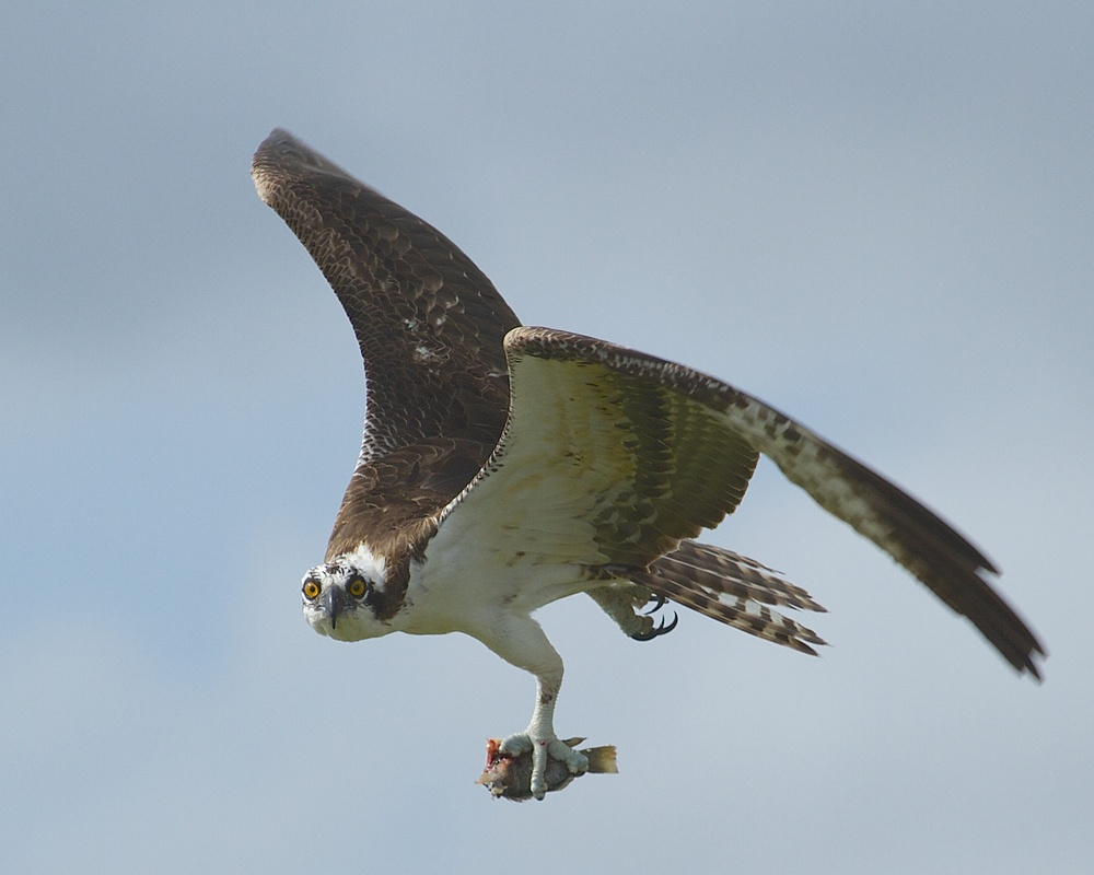 Osprey with fish snack carried in its talon.