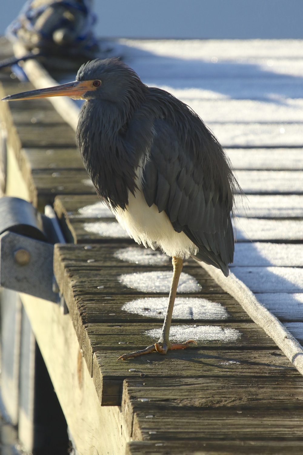 The frosty boards look like they are covered in snow. The heron's toes are frozen in a matter of moments..yet it watches and waits.