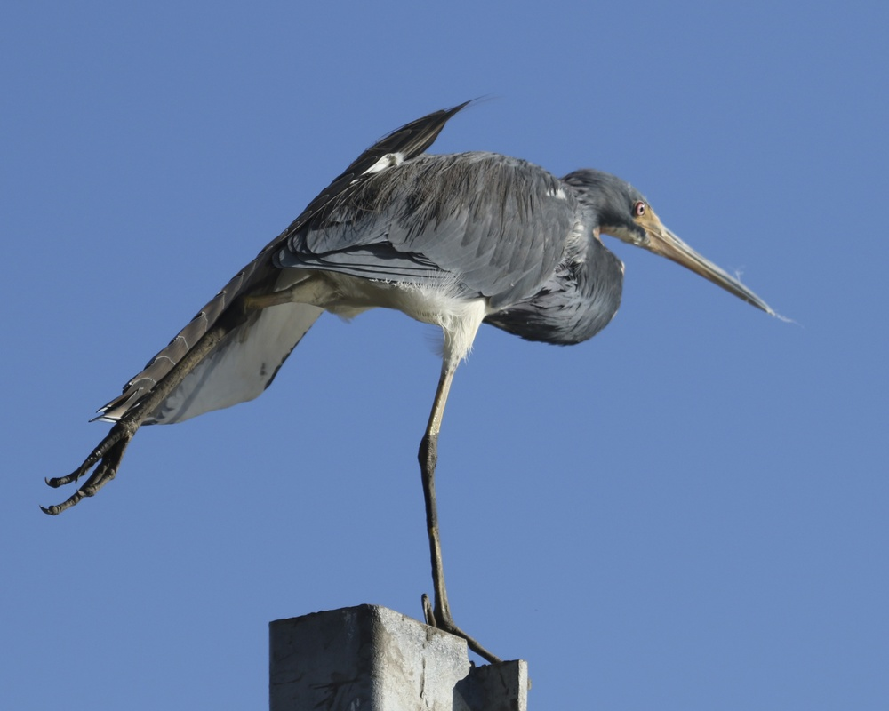Ohhh that feels better,,,,the heron stretches its left leg and wing..