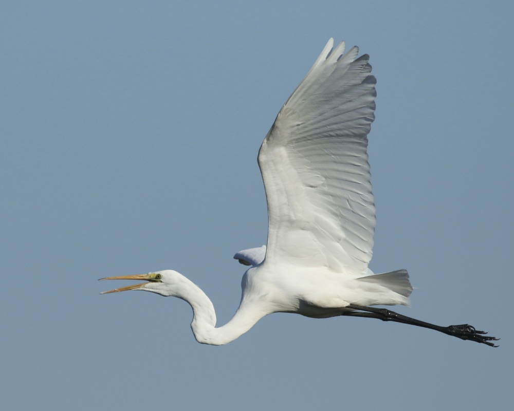 The sky is filled with wings of white…He is coming..He is coming shouts the Great Egret..