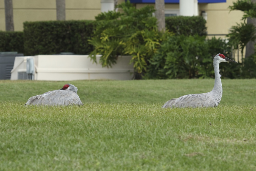 A migrating pair of Sandhill cranes rest by the lake behind the hotel…I try not to disturb them..