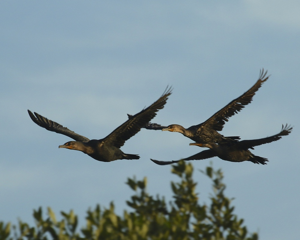 Cormorants fly by as we enter Ding Darling National Wildlife Refuge on Sanibel Island