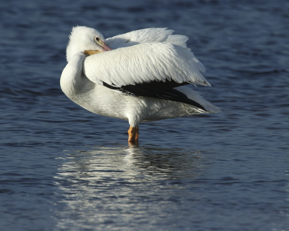 I get to use another photographers 600mm lens to capture this distant White Pelican resting at low tide