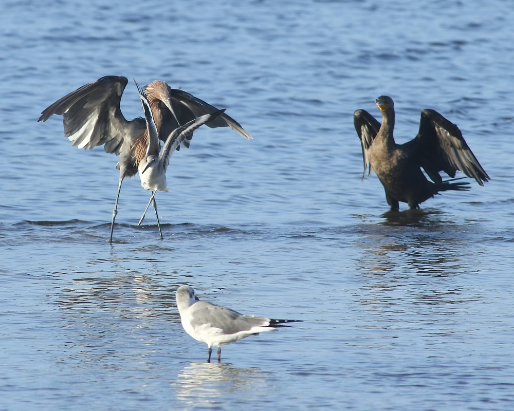 A Reddish Egret equipped with a radio tracking device dances in the low tide looking for minnows among the other marsh birds.