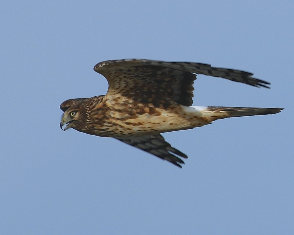 Northern Harrier female surveys the marsh wetlands for opportunity.