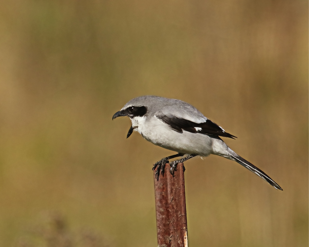 Loggerhead Shrike protests my arrival.