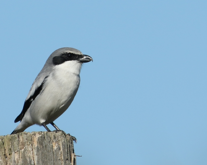 Loggerhead Shrike looking for lunch..hopefully I am too big to bother with..