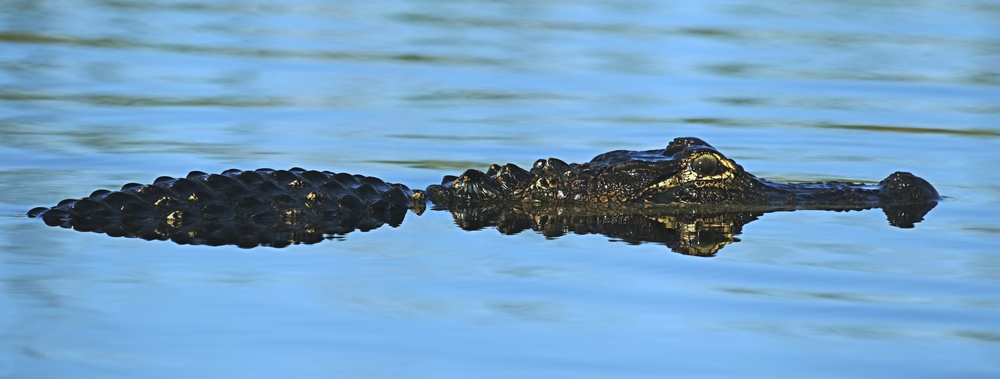 The alligator waits and watches!