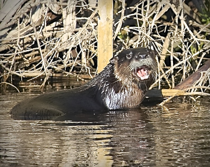 A river otters flashes a toothy grin as it pauses for a photo op.