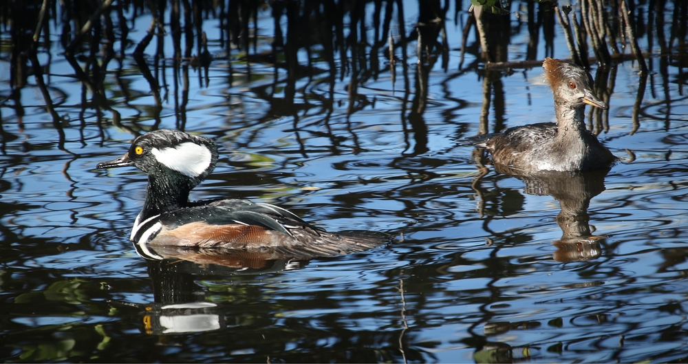 A pair of Hooded Merganser ducks provide a brief opportunity before dashing off.