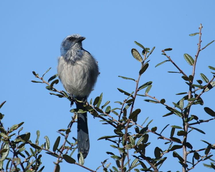 The Sentinel Scrub-Jay watches our arrival and tells the others we are coming with food!