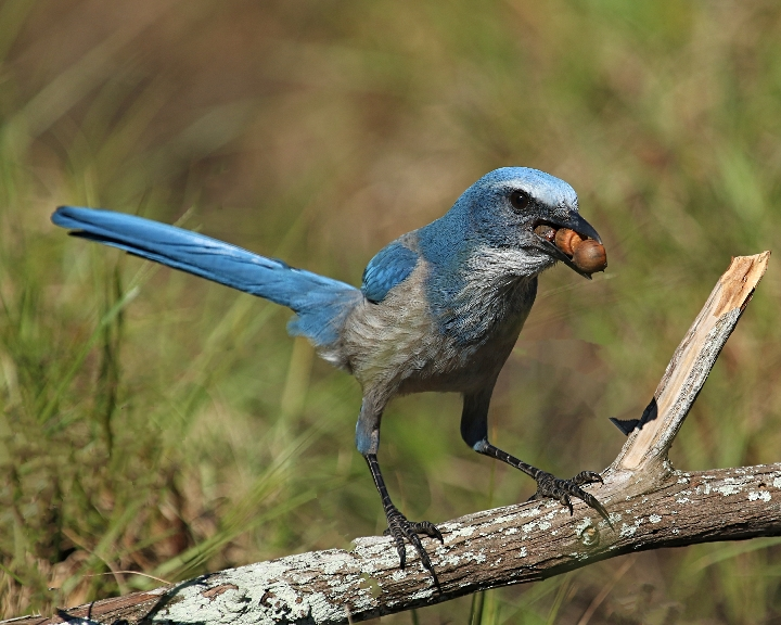 Mine Mine Mine….how many acorns can a Scrub-Jay hold?