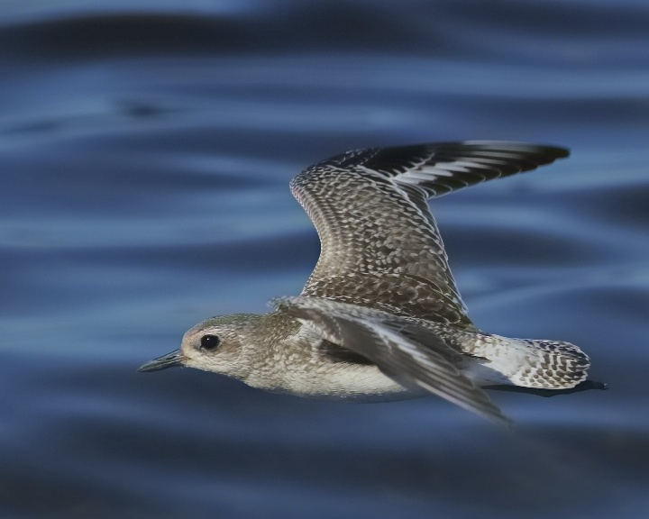 Black Bellied Plover in non breeding colors on a low flight profile..