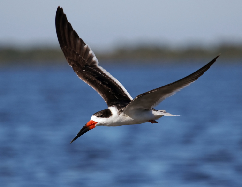 Black skimmer fly by..