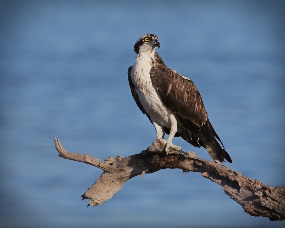 Osprey with fish snack on a limb..