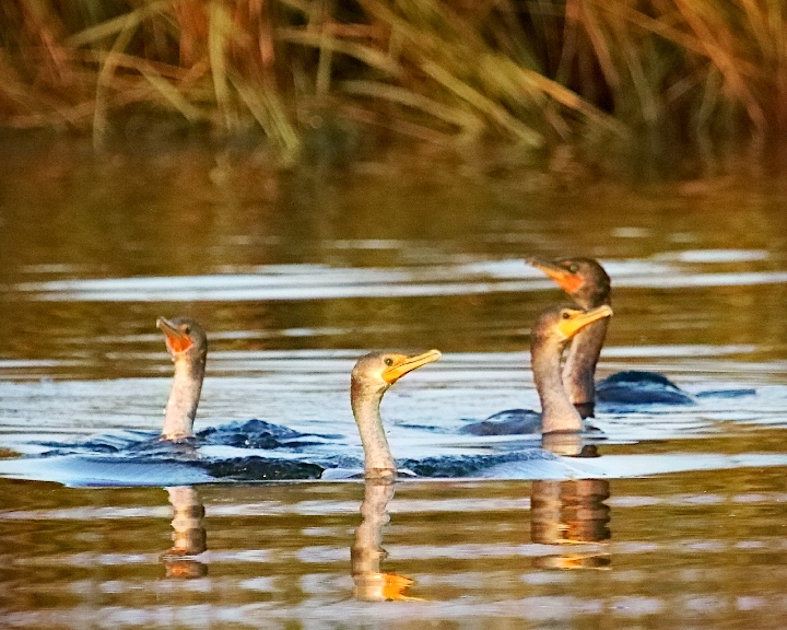 Snake like bird necks appear in the channel as about a half dozen double-crested cormorants commence their morning feeding on the Broward