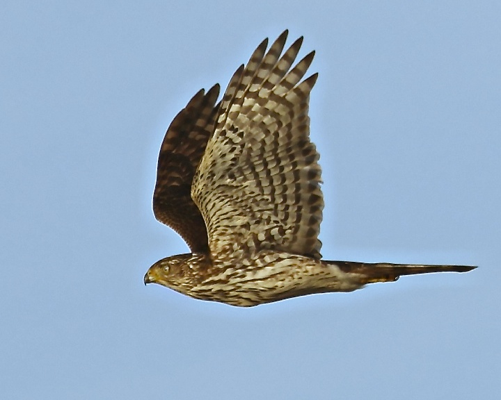 My first confirmed Coopers Hawk fly by.
