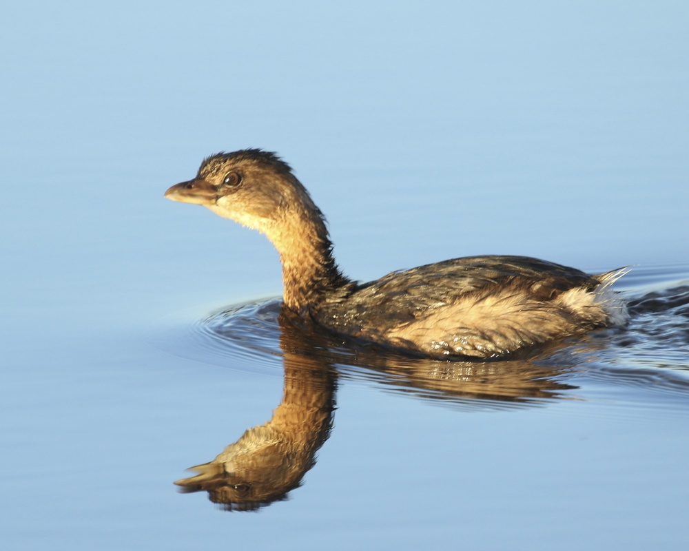 Pied-billed Grebe keeps an eye on my while I press the doohickey