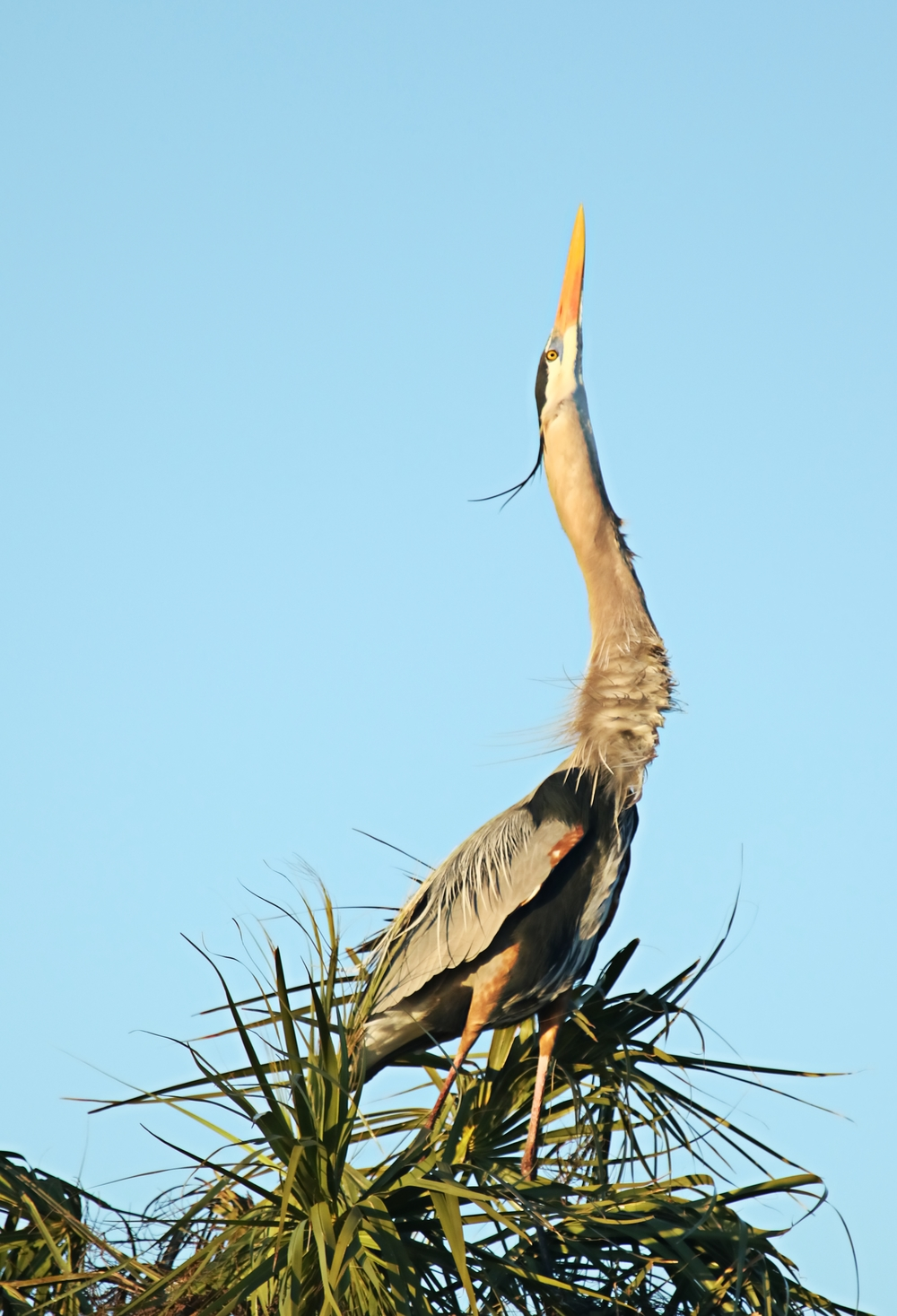 I saw this same single male Great Blue Heron in December. He is doing displays to attract a mate..so far no luck.