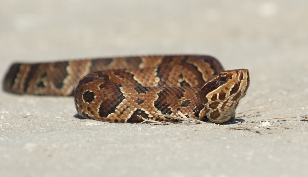 Juvenile cottonmouth slithers across the sandy road..adults are much larger and darker.