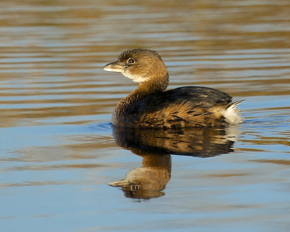 Burrp!, Not me said the Pied Billed Grebe..