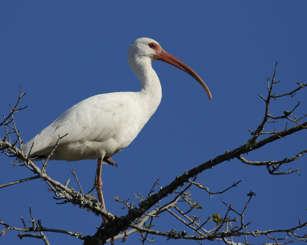 A White Ibis sits on the naked limbs of a barren oak tree by the river bank, resting on one leg. For an hour!