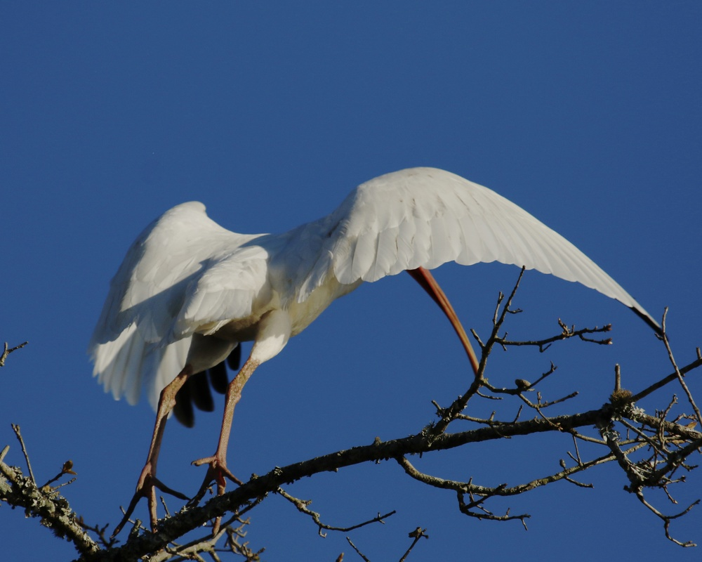 The Ibis slowly leans forward and lifts off….in the wrong direction..