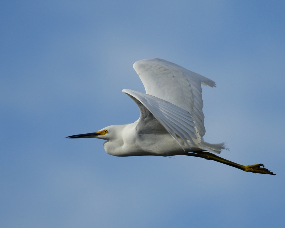 "Another Snowy ""Blizzard"" Egret fly by on the Broward.."