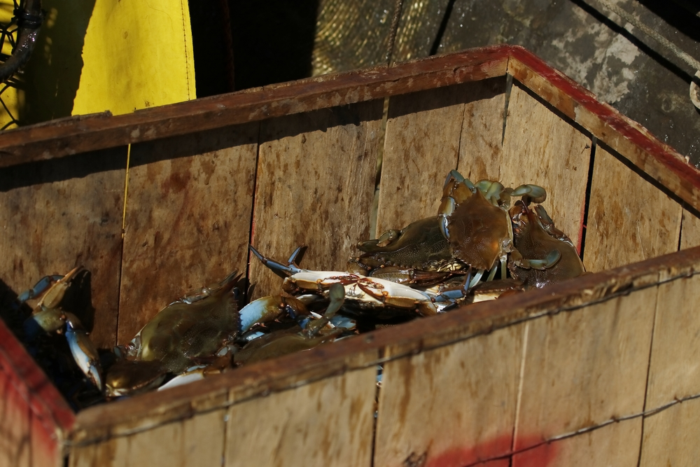 It isn't the delicious blue crabs the Pelicans want, it is the bait fish in the crab traps!