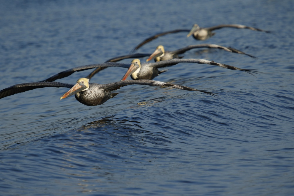 Gliding over the wake, a formation of four follow the boat. At times we had about 18 pelicans following us.