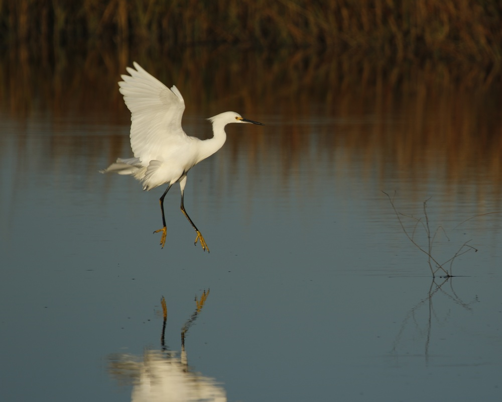 Graceful wings flare over the marsh as the Snowy Egret begins its morning dance
