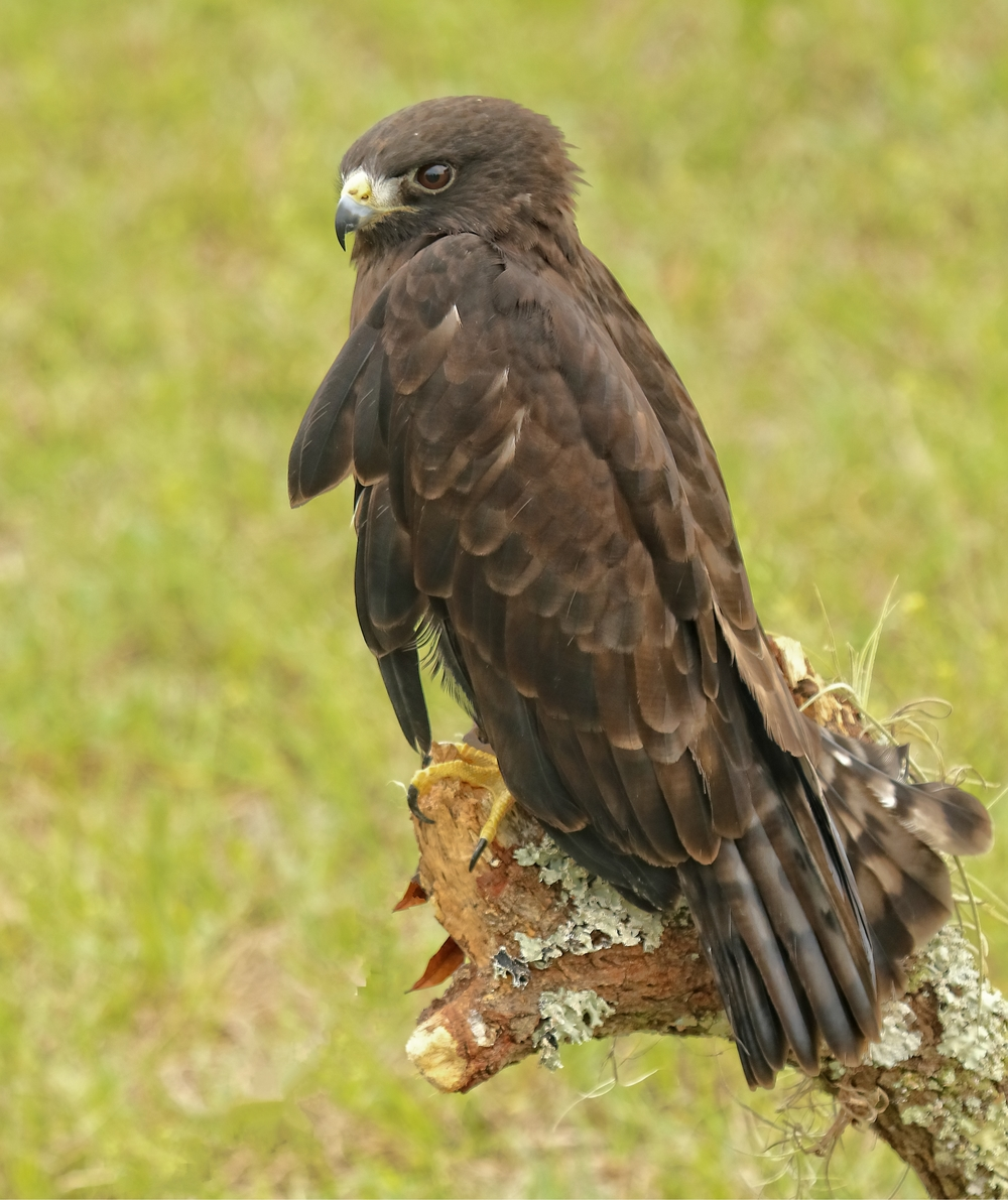 Miko, a dark phase Short-tailed Hawk suffered a gunshot wound to the left wing
