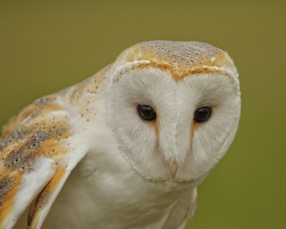 Henry, a European Barn Owl was captive bred and is a rehabilitated flight capable barn owl.