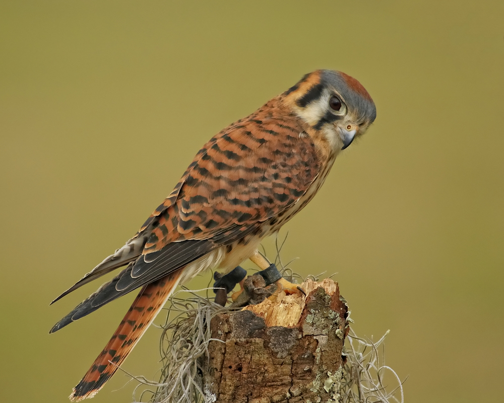 Callie, an American Kestrel female, found in a storm and imprinted by human contact.