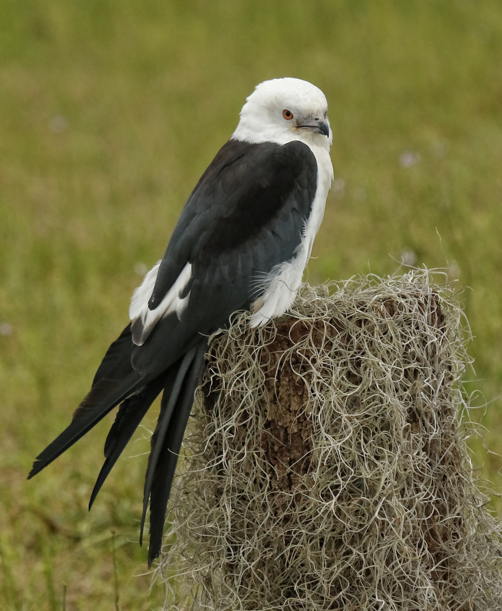 Scooter, Swallow Tailed Kite separated at an early age from parents and imprinted with humans.