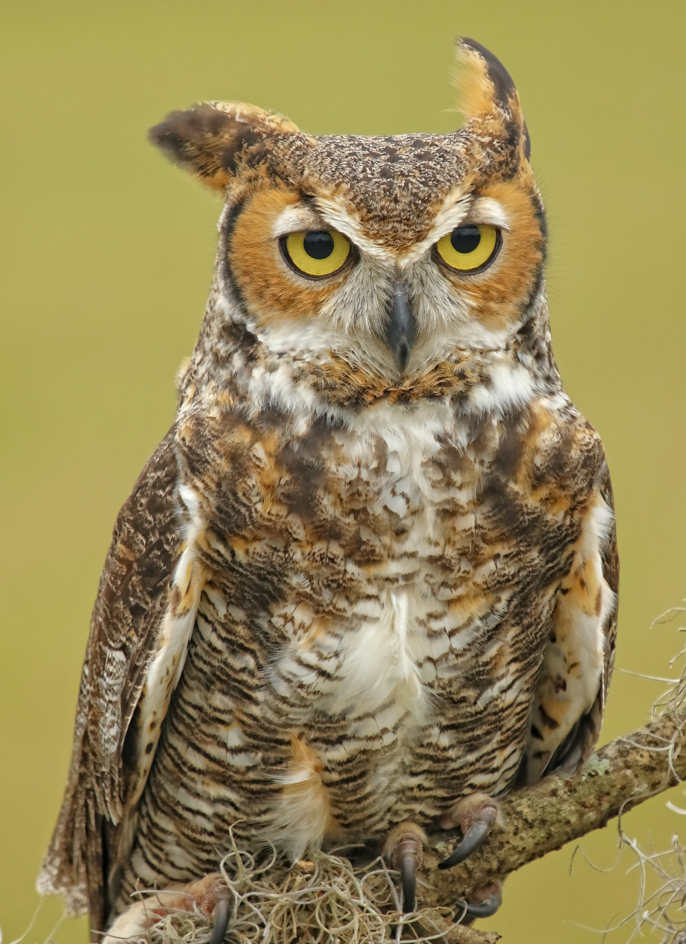 Gordon, the Great Horned Owl was my favorite bird..handsome fellow and wise too!