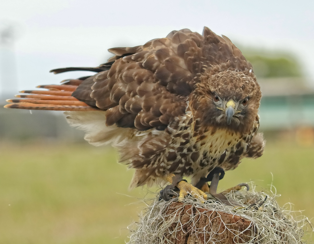 Izzy is a Red Tailed Hawk. Izzy injured a foot while hunting in the wild and can no longer hunt on her own.