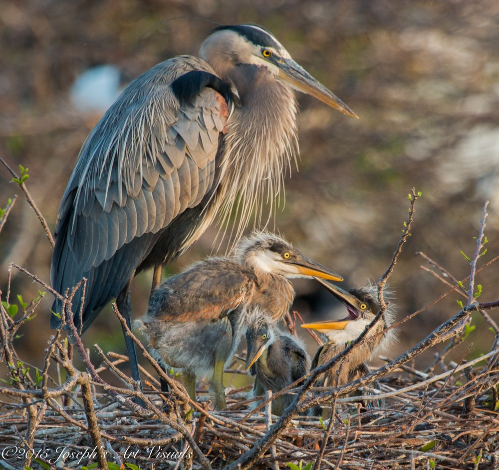 This is what the    Marsh Madness  is all about..the start of a new Generation of Great Blue Herons..Photo by and with permission of Tresa Marie Joseph of Joseph's Art Visuals