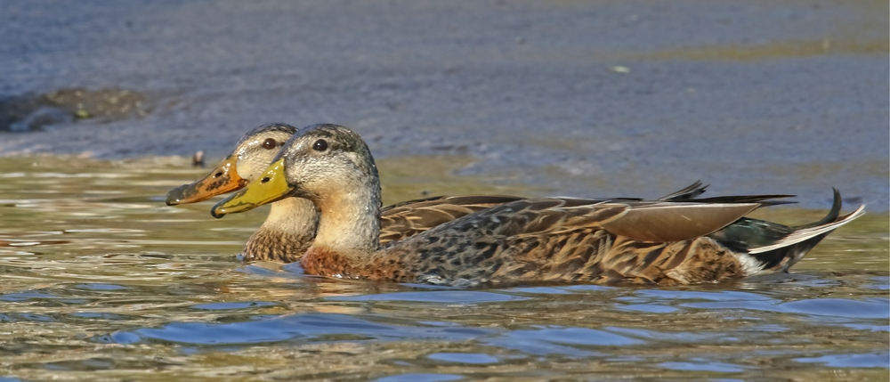 Did someone say free corn? Pair of Mottled Ducks hang out by the dock recently.