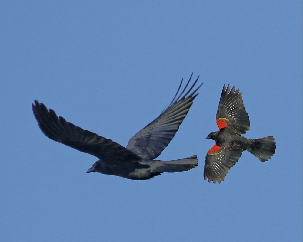Red Winged Blackbird attacks a crow coming too near the Red Winged's marsh nesting sites.