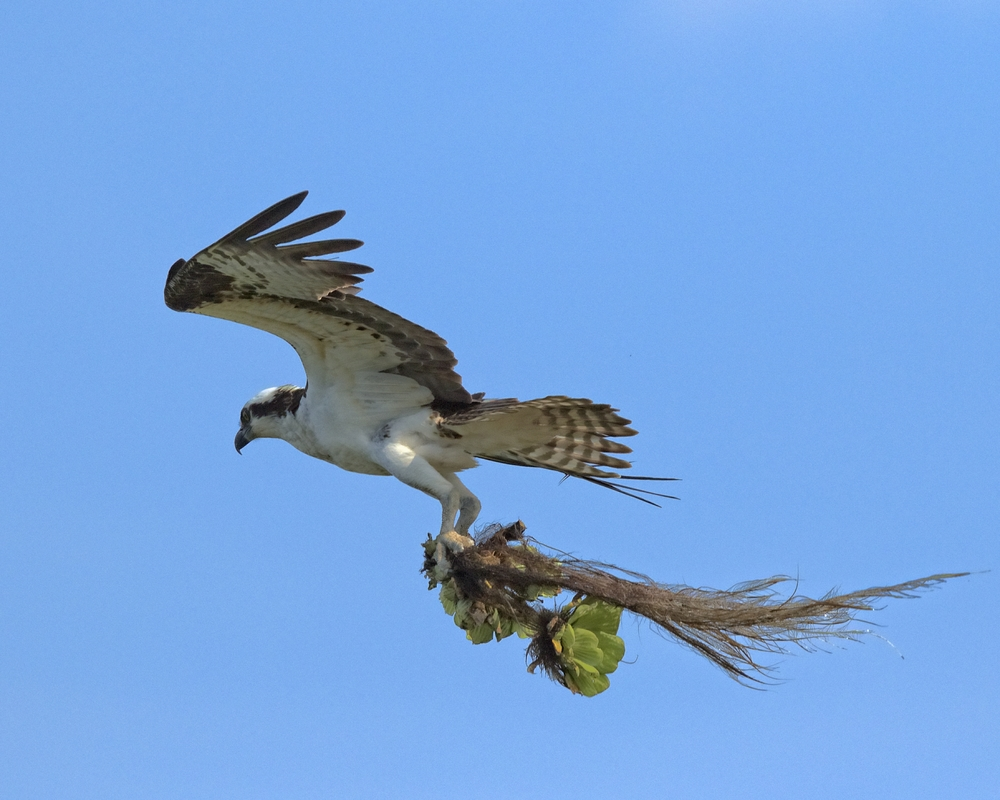 Fresh nesting material being brought to the nest