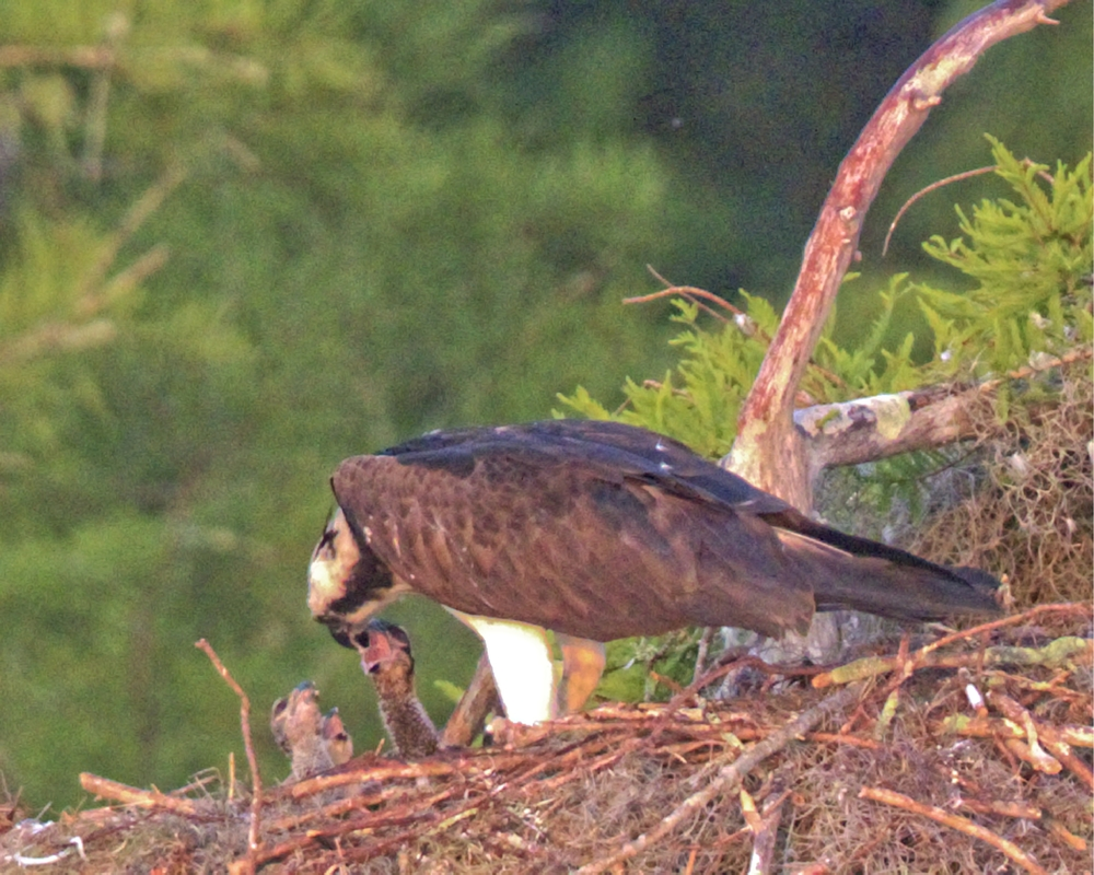 Highly cropped image of a female feeding three young ones!