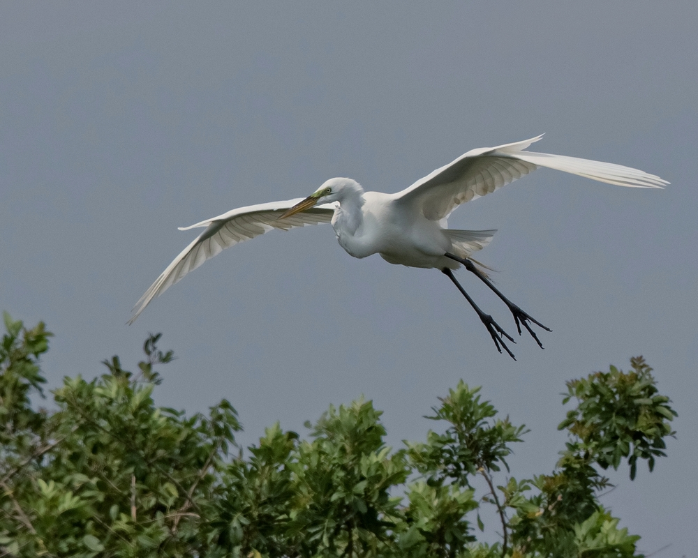 A Great Egret launches from the Stick Marsh to find a stick for the nest...