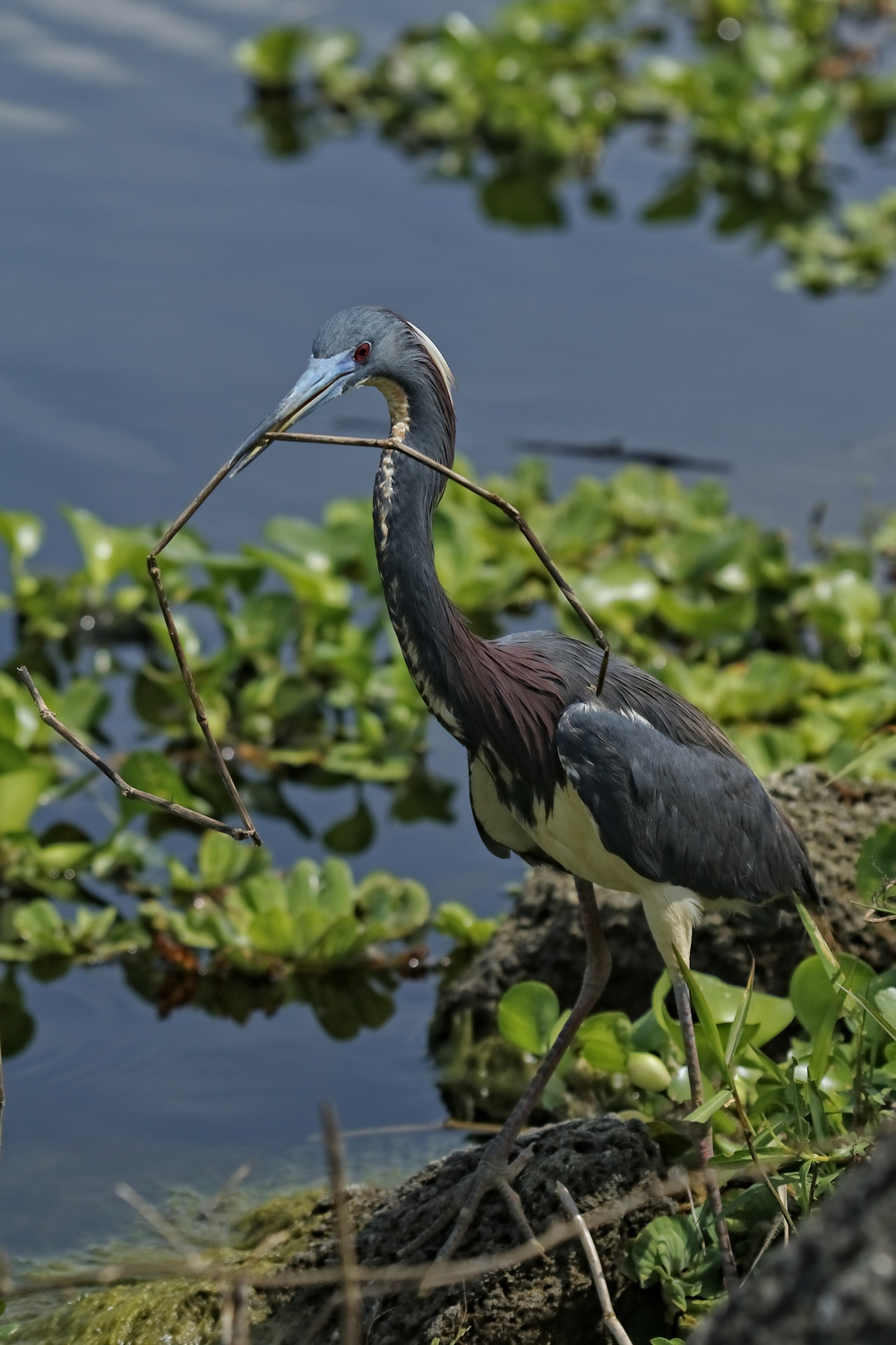 A tricolored heron struggles to get just the right one..