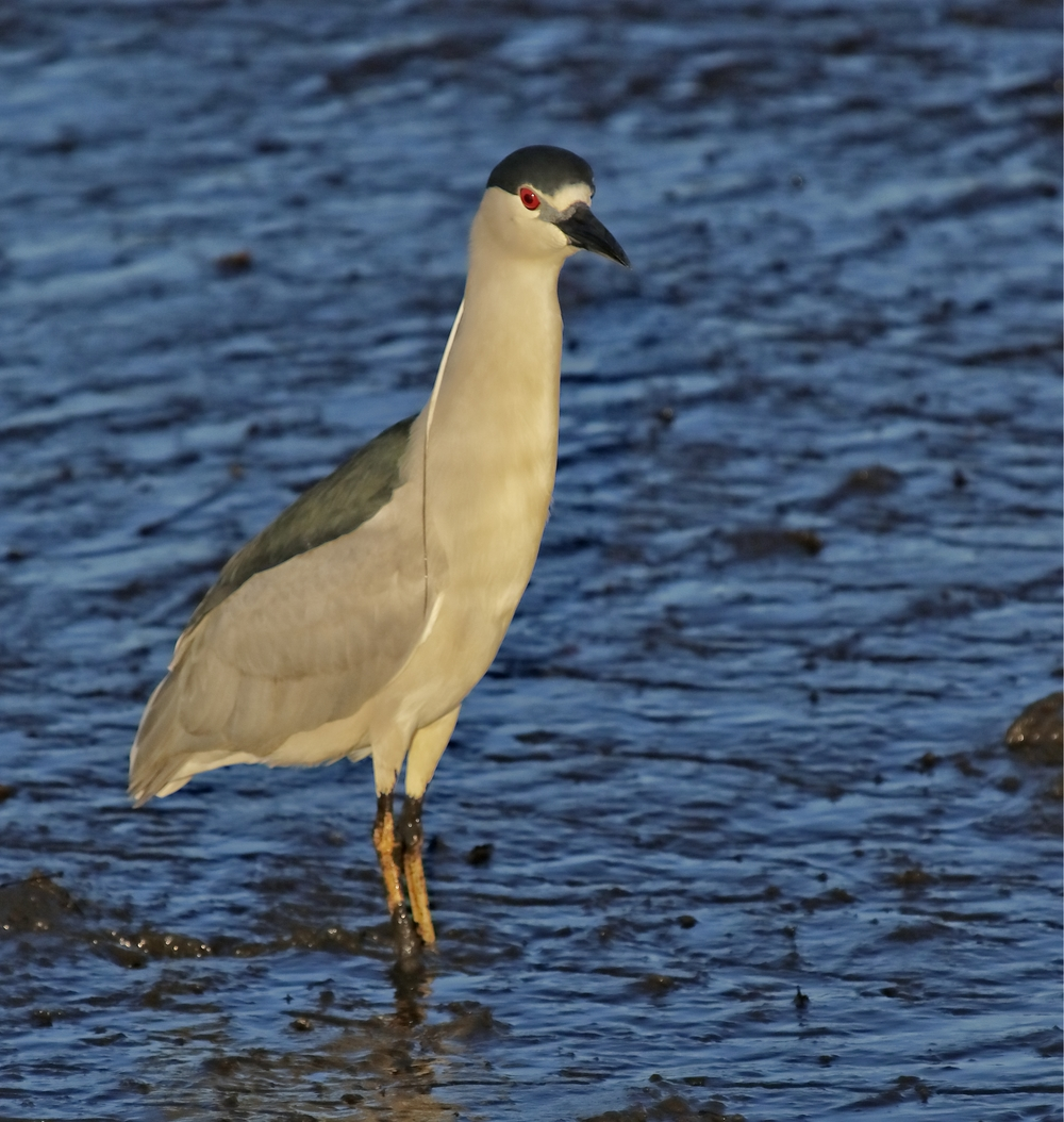 The  Black Crowned Night Heron lands in the marsh in front of me and looks at me with its huge red eyes!