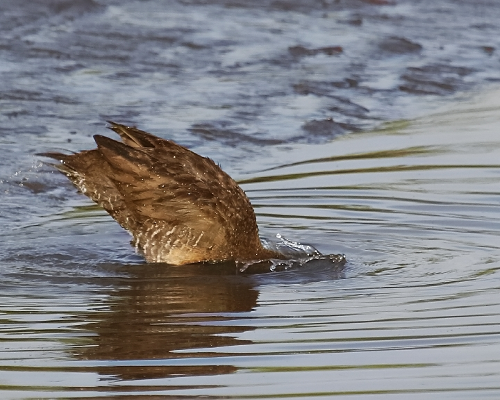 Splish Splash..the Clapper Rail was taking a bath...